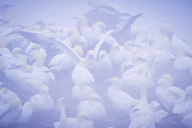 Troubleshooting 4 Tricky Photography Situations - processed gannets