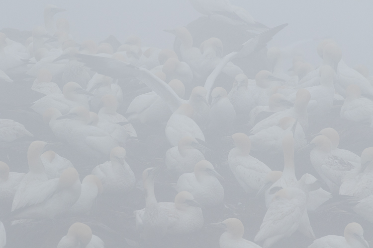 What would you do - RAW gannets