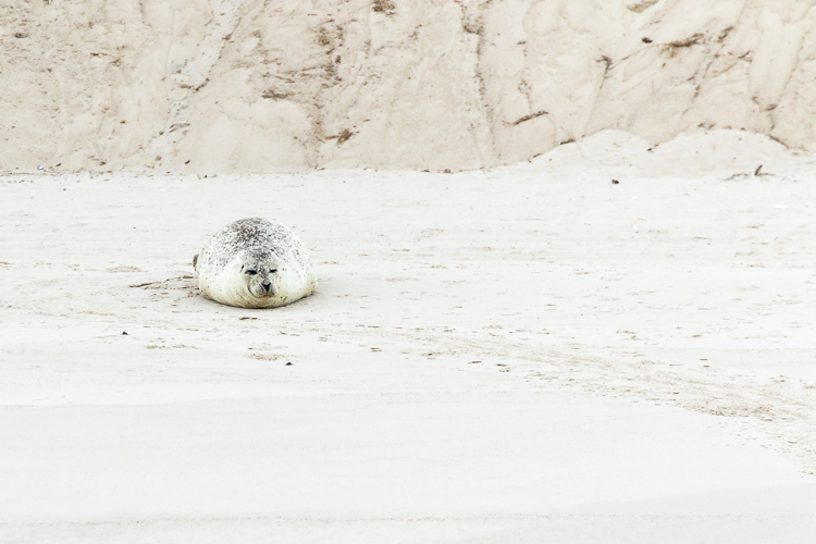 What would you do - seal on beach