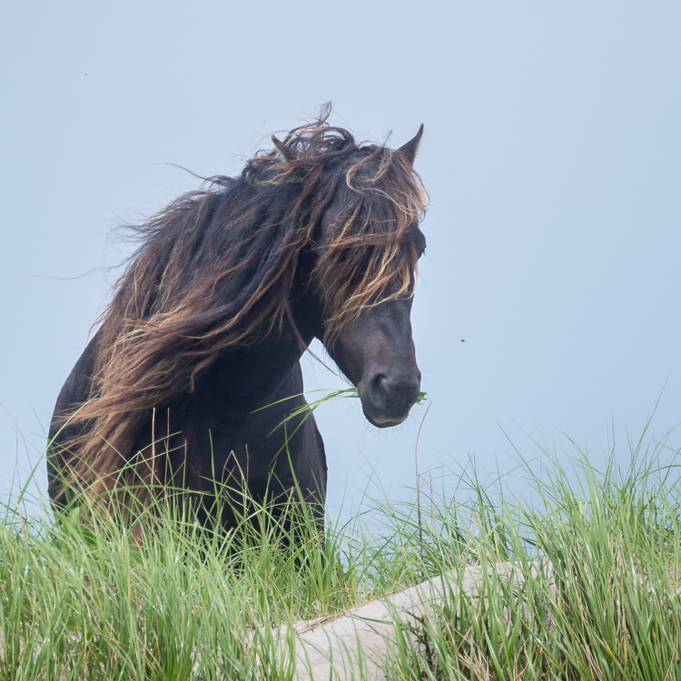 Troubleshooting 4 Tricky Photography Situations - Sable Island Stallion
