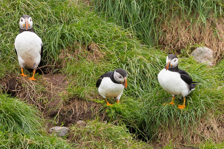 Troubleshooting 4 Tricky Photography Situations What would you do - puffins