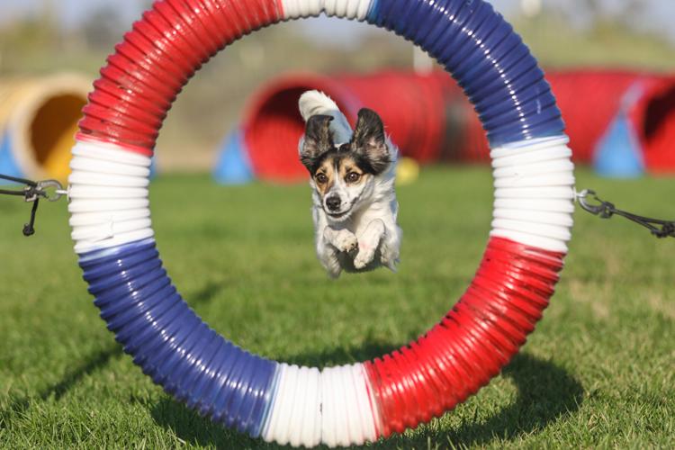 https://i0.wp.com/digital-photography-school.com/wp-content/uploads/2017/09/Dog-agility-11.jpg?resize=750%2C500&ssl=1