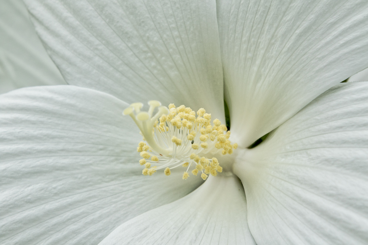 https://i0.wp.com/digital-photography-school.com/wp-content/uploads/2017/09/White-Hibiscus-.jpg?resize=750%2C500&ssl=1