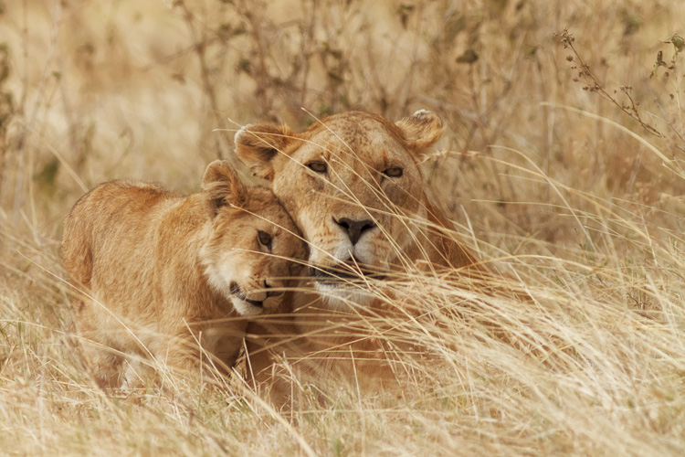 Lion and cub at Ngorongoro Crater, Tanzania - 7 Photography Myths Exposed