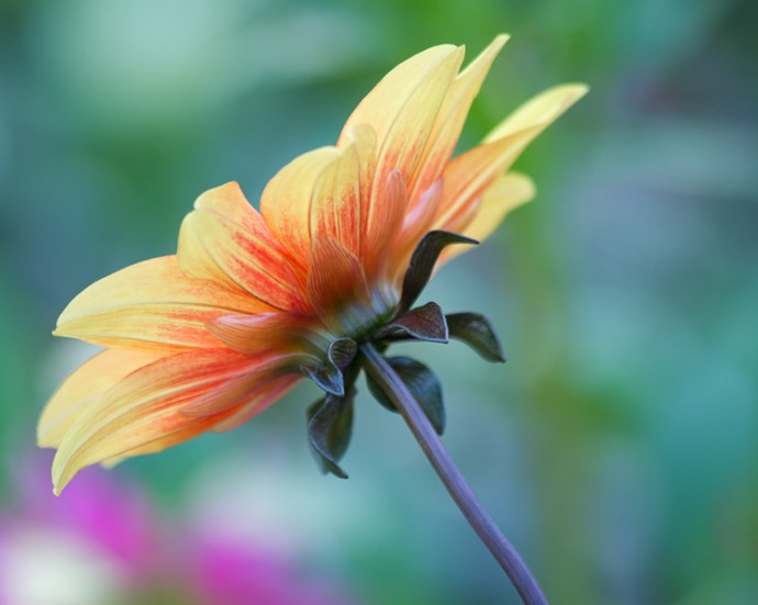 Summer flower in Butchart Gardens, Victoria, British Columbia - 7 Photography Myths Exposed