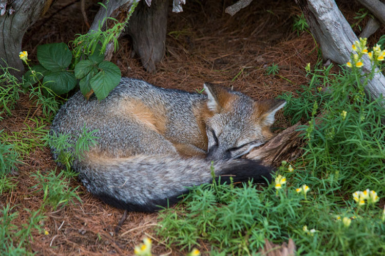 4 Tips for Nature Photography Beginners - fox sleeping