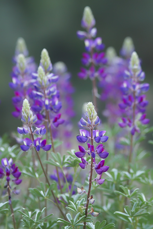 Bush Lupin - Getting Started with Landscape Photography - 4 Easy Tips for Beginners