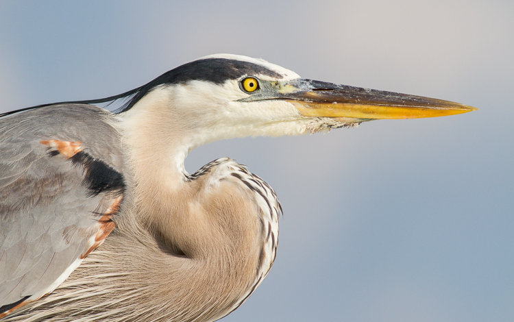 heron portrait - Four Ways to Get Frame-Filling Shots in Bird Photography