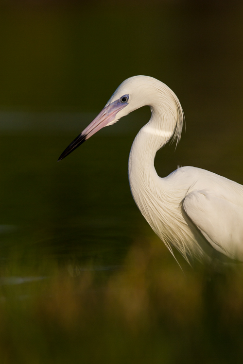 White Morph Reddish Egret bird photography
