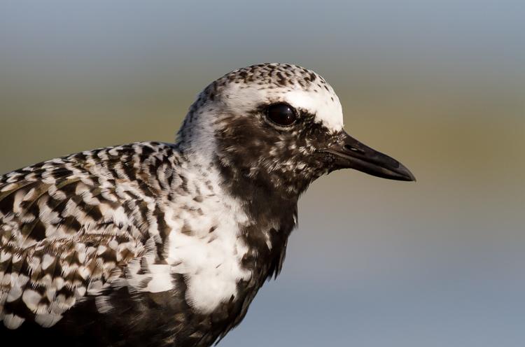 black-bellied plover bird photography
