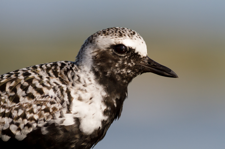 black-bellied plover bird photography