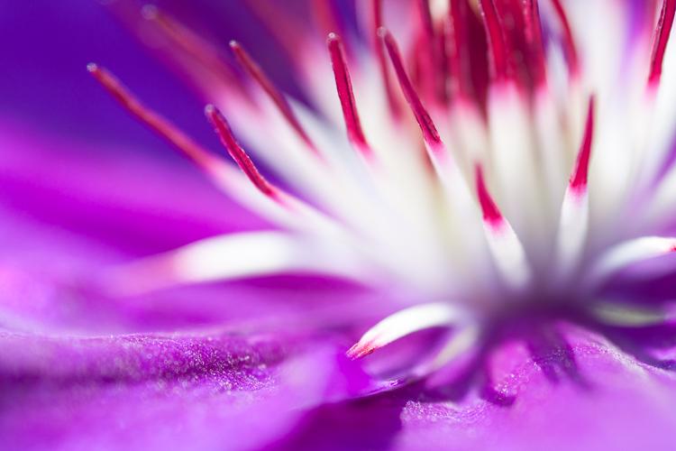Clemantis macro photography