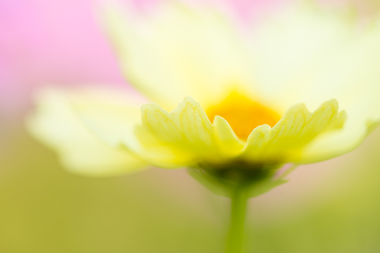 flower macro cosmos - Five Ways to Take Your Macro Photography to the Next Level
