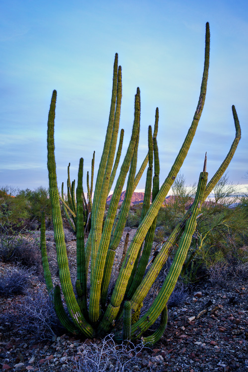 Organ Pipe Cactus in Ajo, Arizona - Wide-Angle Versus Telephoto Lenses for Landscape Photography