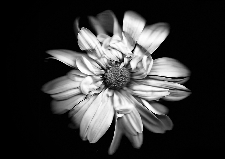black and white flower - How to Create Images of Plants With Scanography