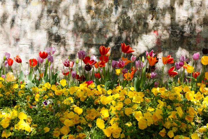 tulips - How to overcome your technical or artistic shortcomings and improve your photography