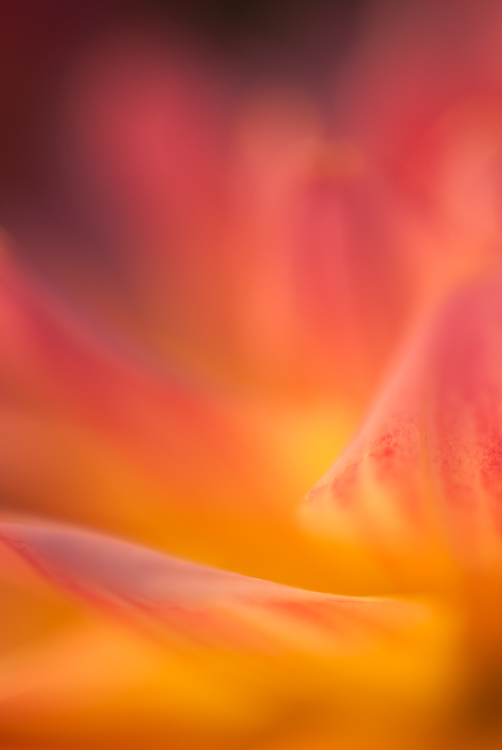 dahlia abstract macro photography flower - How to Choose the Perfect Macro Lens
