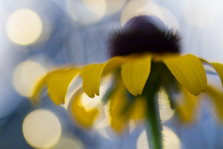 Macro photography black eyed susan abstract - 5 Camera Settings That All Macro Photographers Should Know