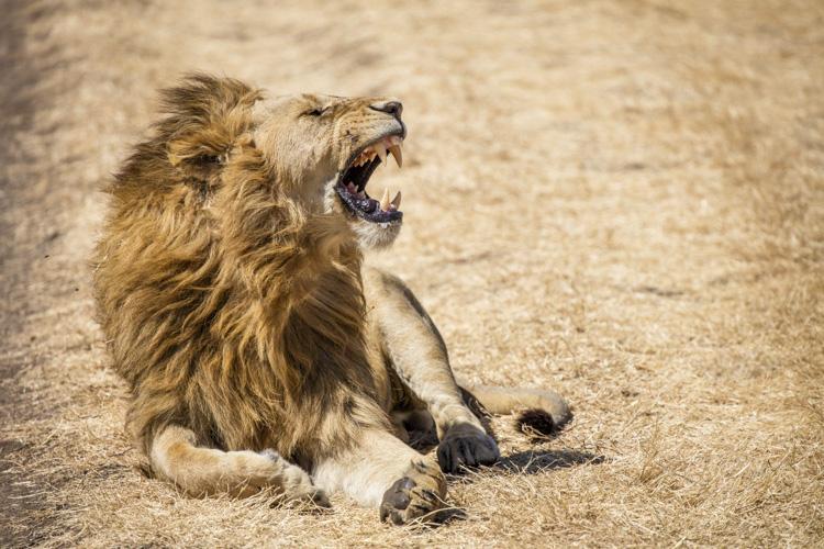 Lion's roar Ngorongoro Crater Tanzania - better vacation photos