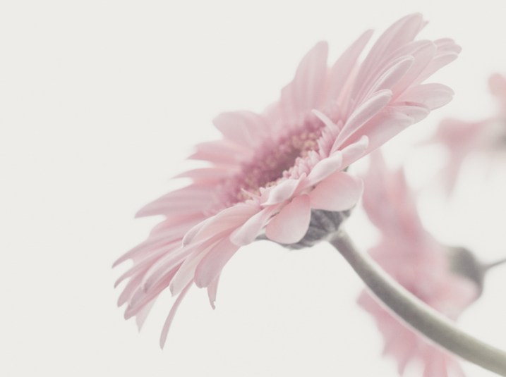 pink gerbera - 9 Ways to Create Balance in Your Photography