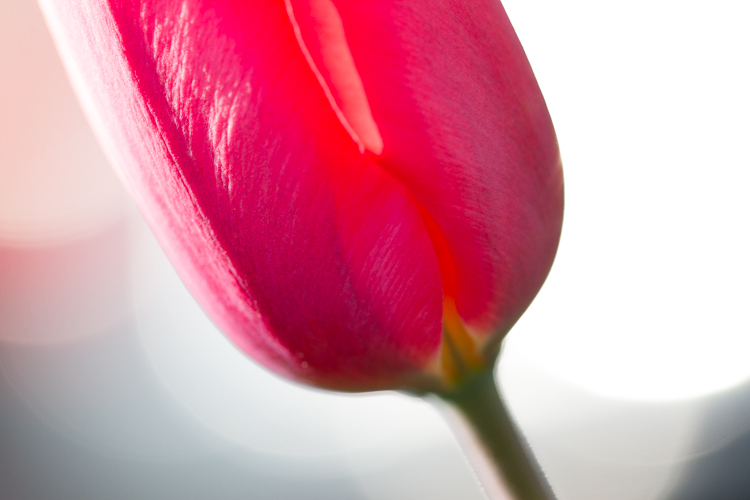 flower macro photography abstract red tulip - A Beginner's Guide to Photographing Flowers
