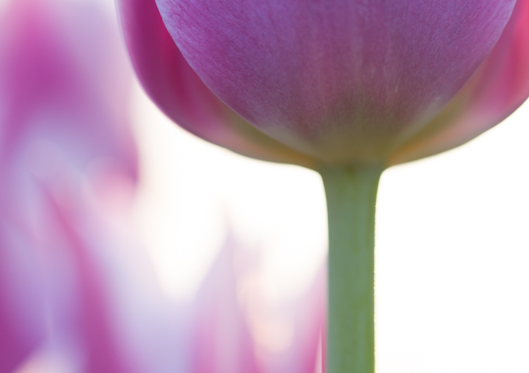 flower photography macro tulip abstract