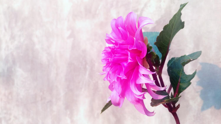 Pink dahlia photo - improve your photography