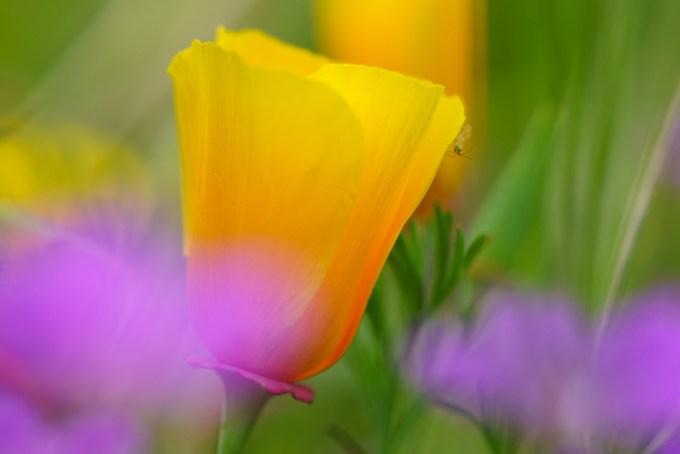 通过罂粟聚焦 -  8种方式创造更多戏剧性的花卉照片