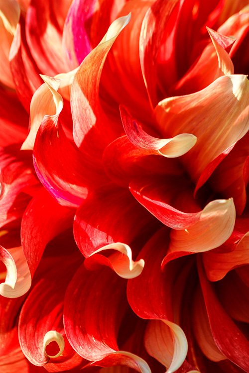 Giant Dahlia - 8 Ways to Create More Dramatic Flower Photos