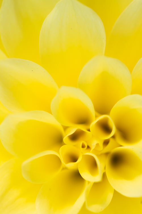 flower photography macro dahlia - Common Macro Photography Mistakes