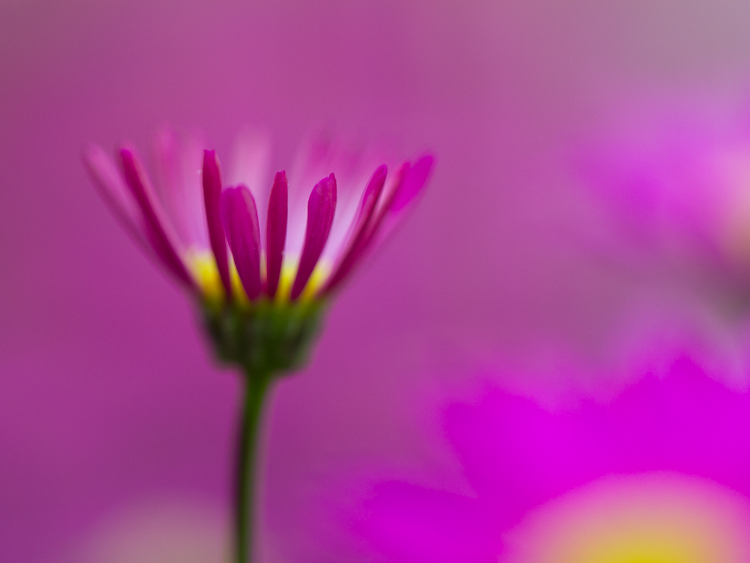 flower photography macro aster - Common Macro Photography Mistakes