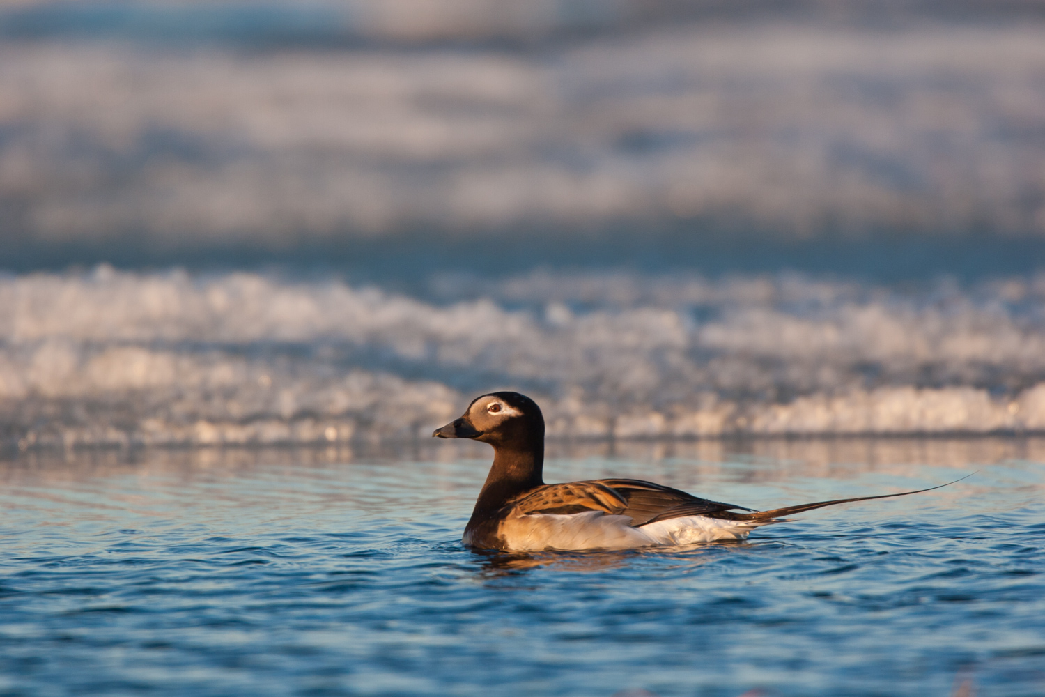 A Guide to Photographing Birds and Wildlife in a Wetland Area - duck swimming