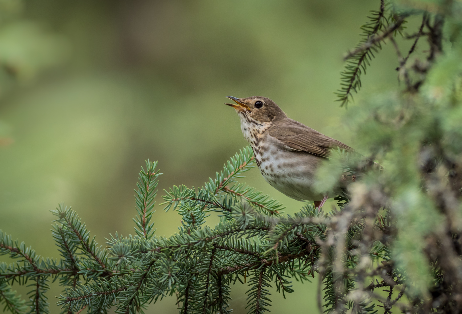A Guide to Photographing Birds and Wildlife in a Wetland Area - bird in a spruce tree