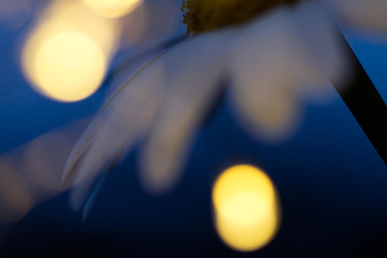 fairy light creative macro photography flower daisy