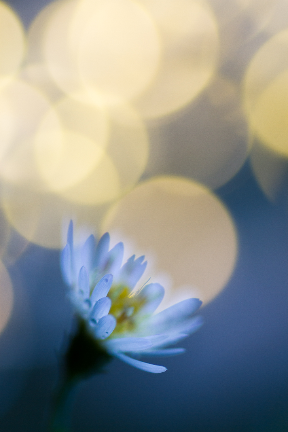fairy light creative macro photography flower bokeh aster
