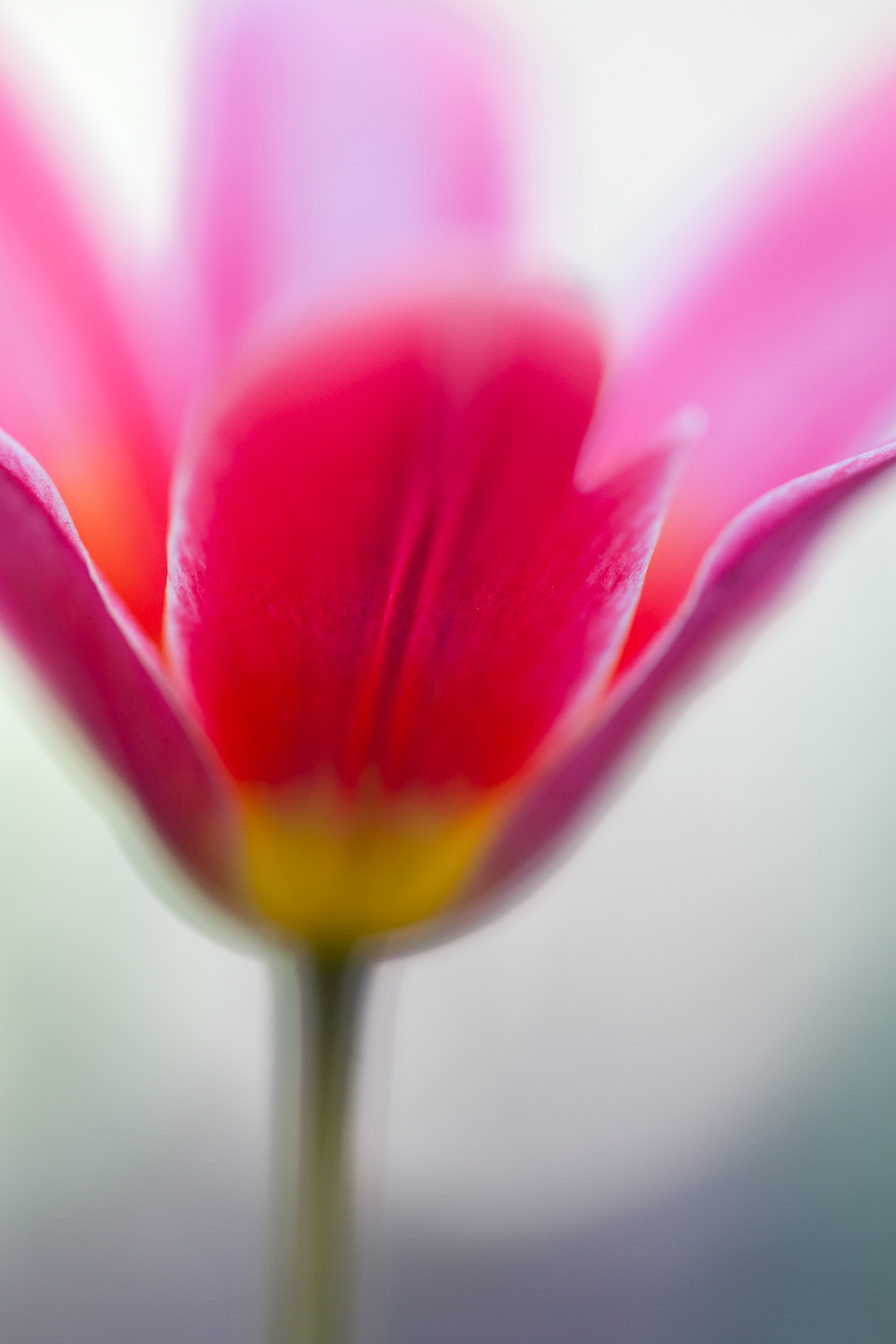 flower abstract macro photography tulip