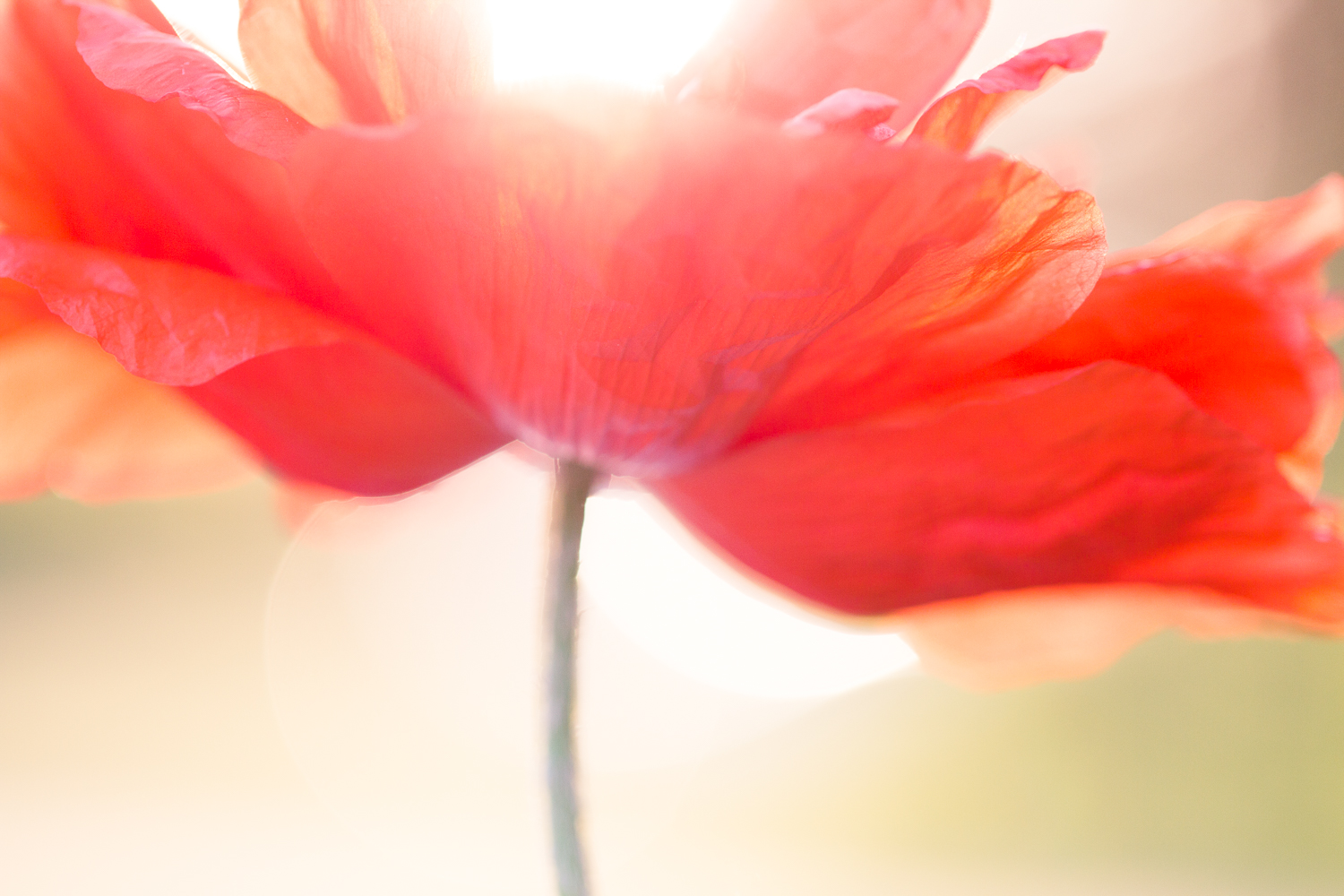 flower macro photography red poppy