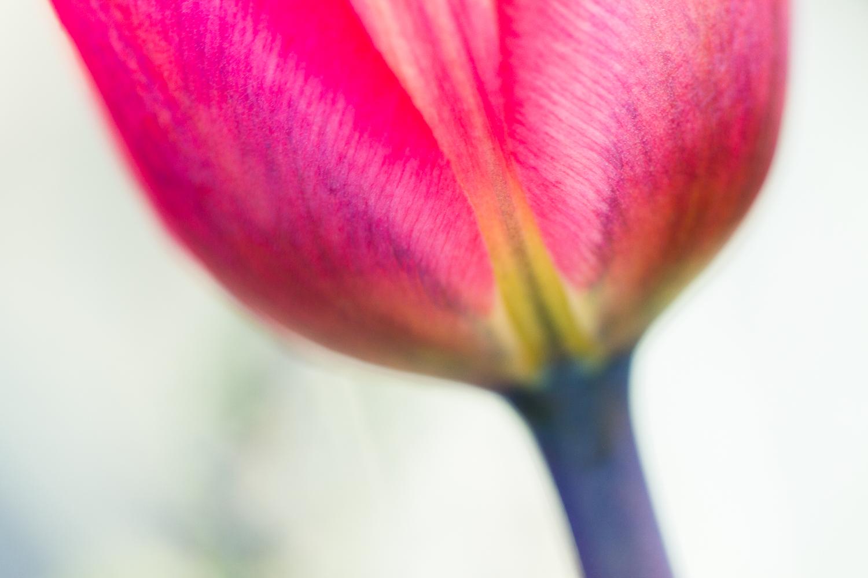 macro photography bokeh flower tulip - Types of Lighting