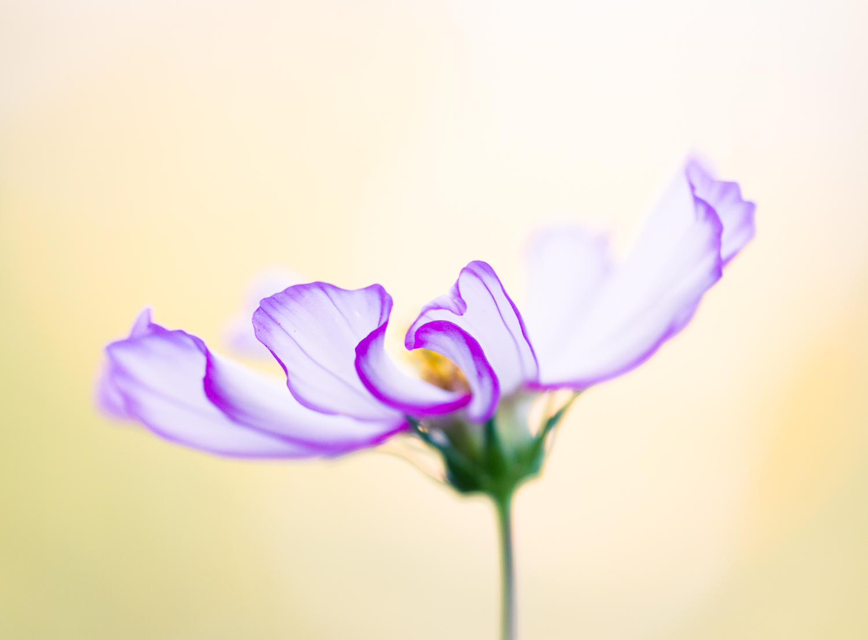 macro photography bokeh flower cosmos - Types of Lighting