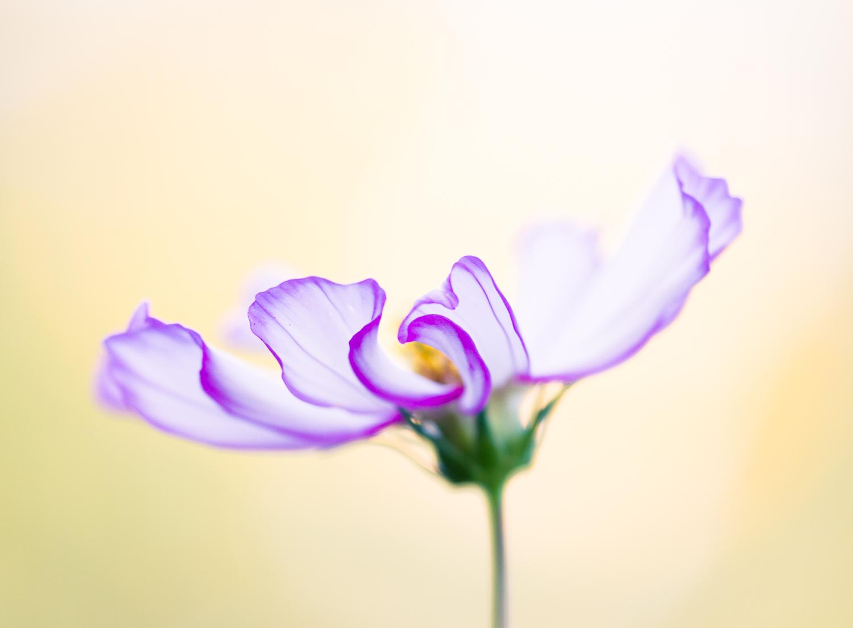 macro flower bokeh photography cosmos