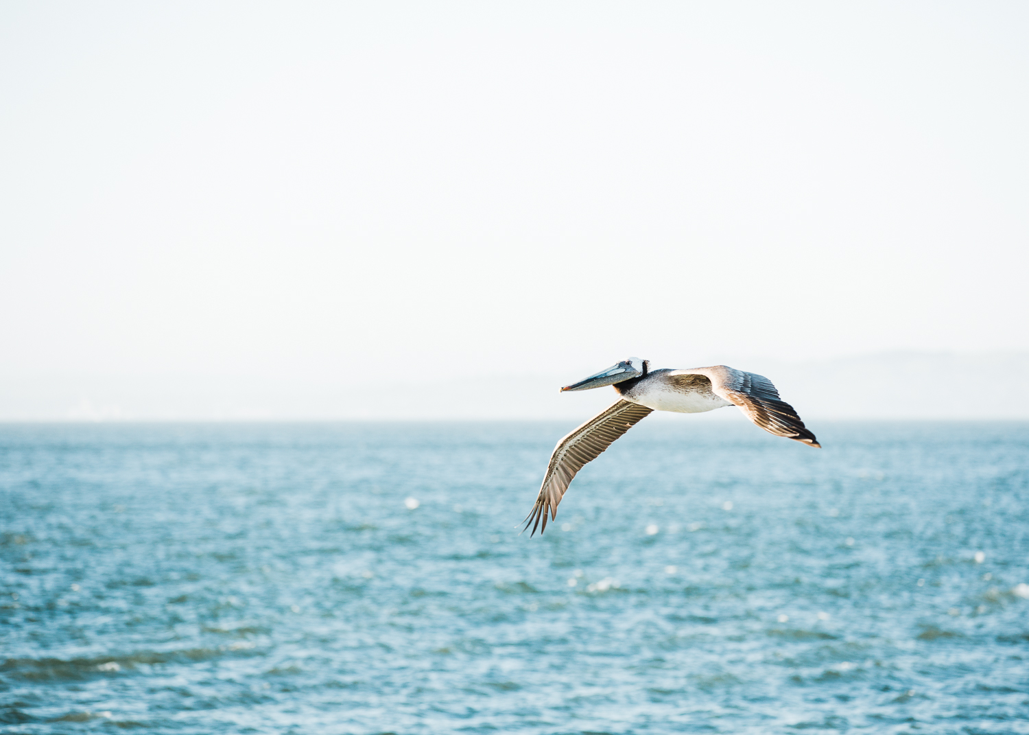 Pelican Flying over the water -