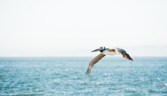 Karthika Gupta Photography - Memorable Jaunts DPS Article-Pelican Flying over the water