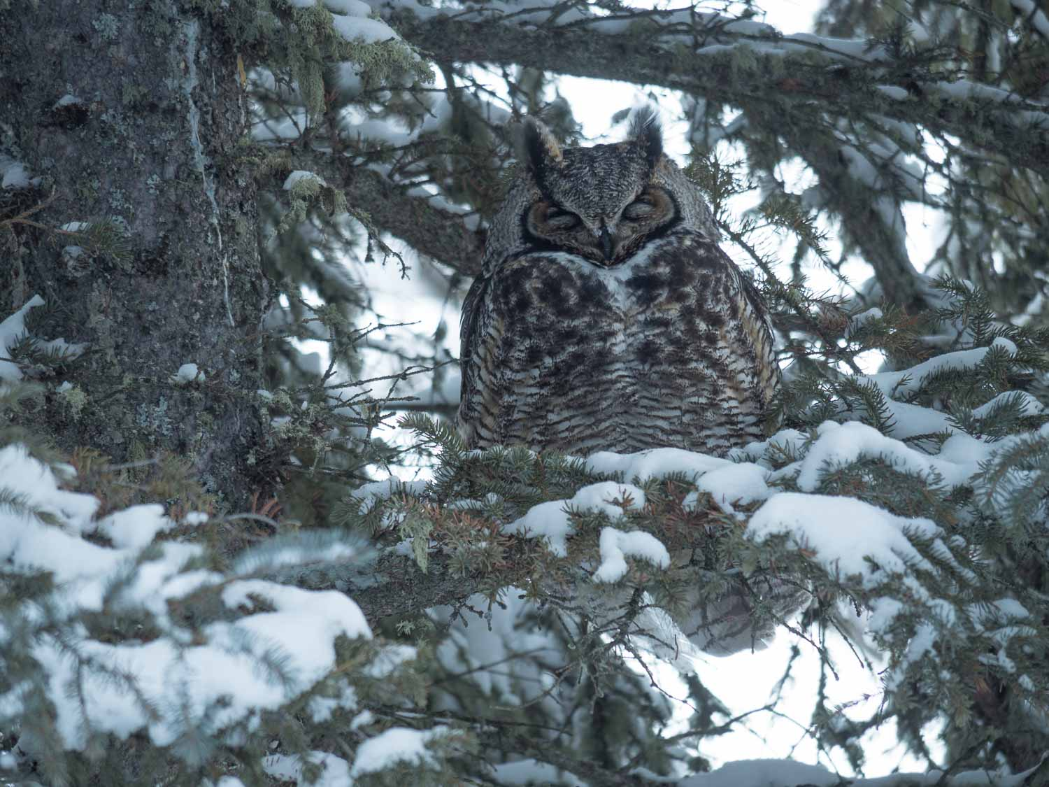 great horned owl eyes closed - Micro four-thirds for wildlife