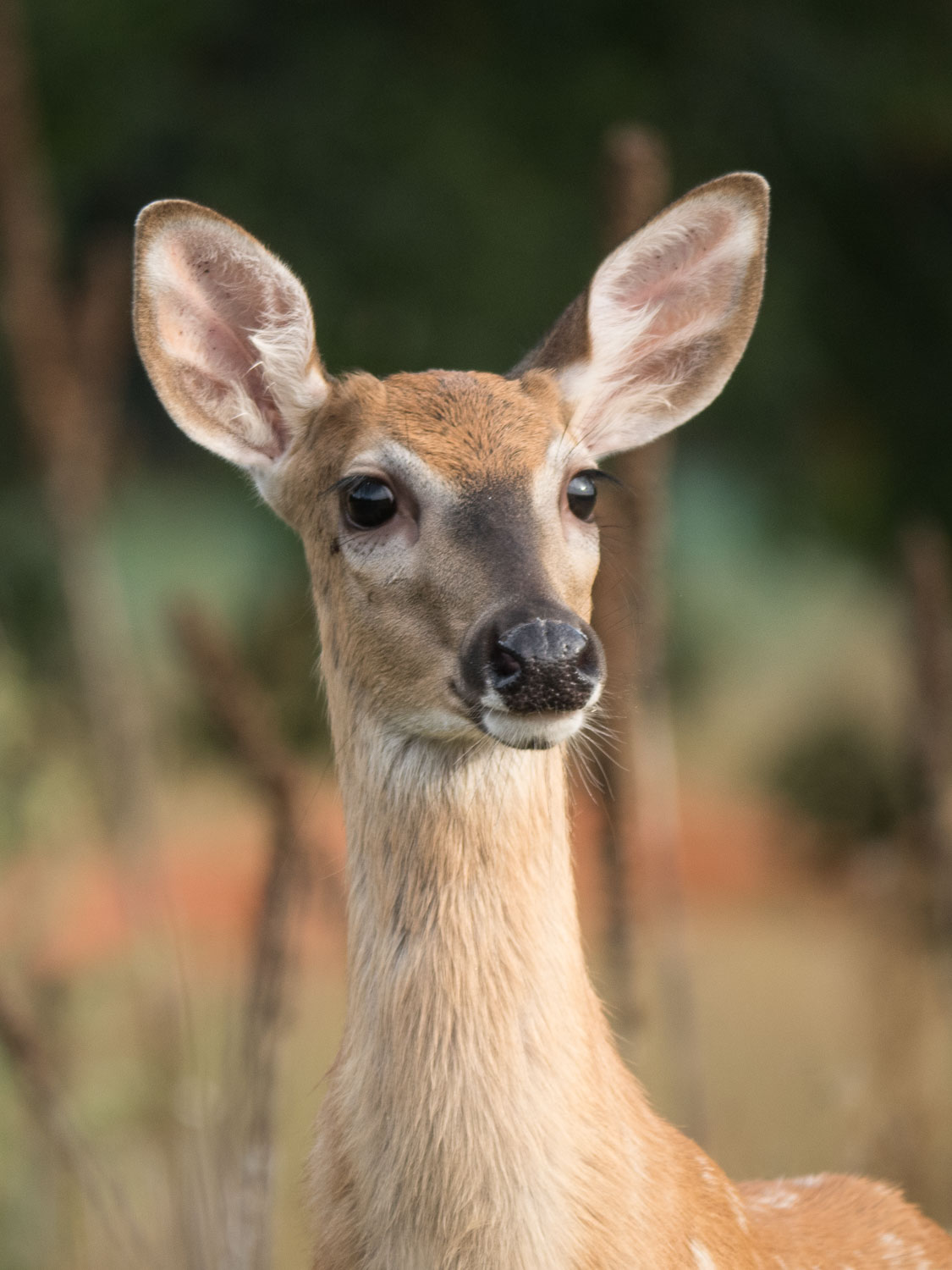 Micro four-thirds for wildlife - portrait of a deer