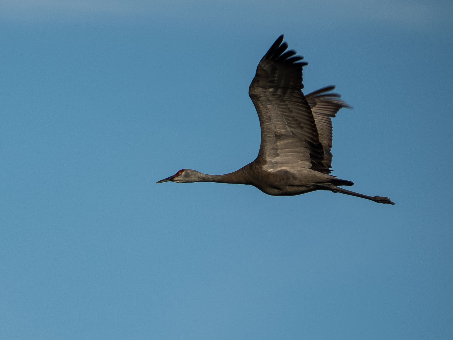 crane in flight - micro four-thirds for wildlife