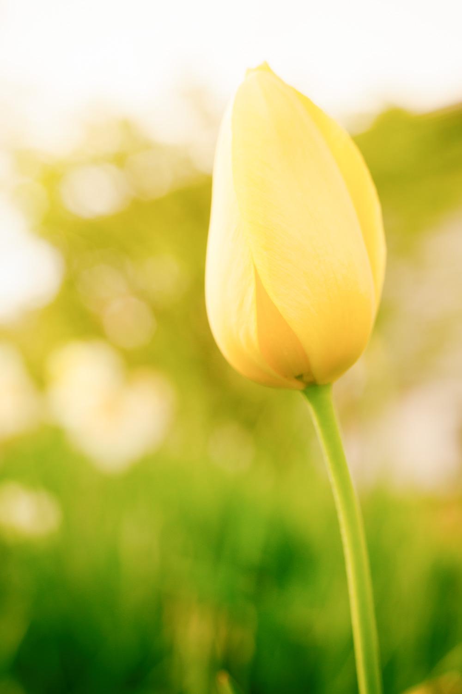 yellow tulip - Create a Luminous Look