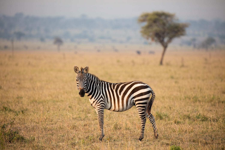 6 Tips to Capture Wildlife Photography with Impact - zebra