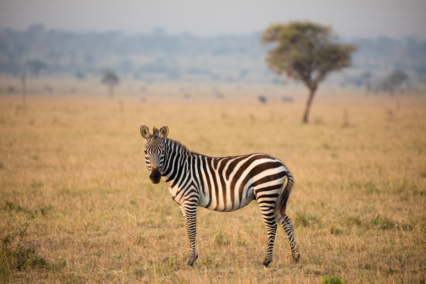 6 Tips to Capture Wildlife Photography with Impact - zebra