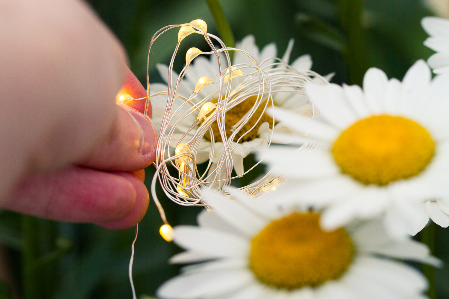 Image: Holding the lights in behind the daisy.