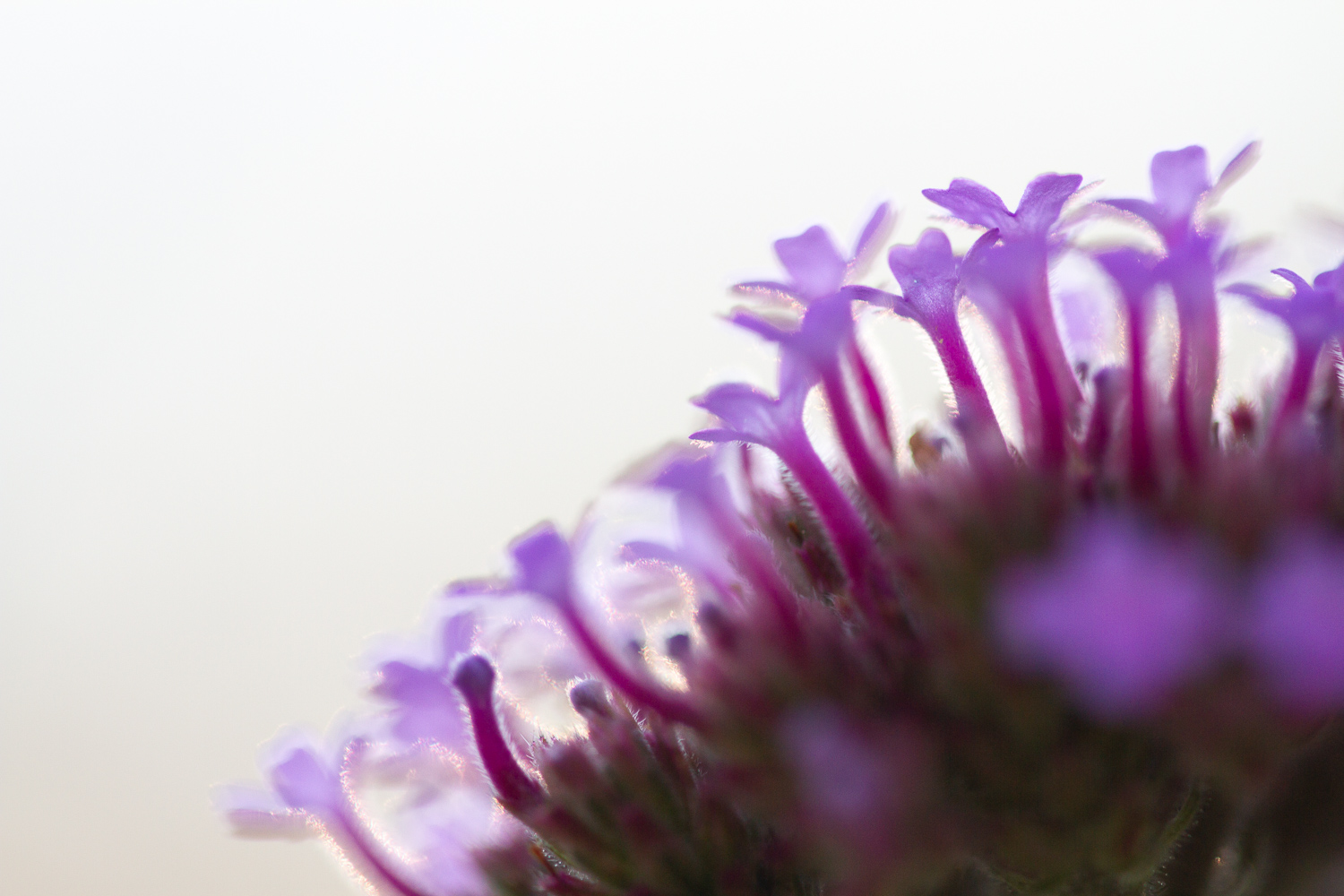 purple flower close up - How to Use Backlight to Create Incredible Images